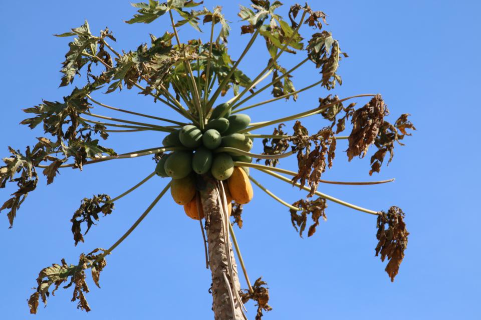 Тяжелые плоды дынного дерева или папайи (Carica papaya) - каулифлория