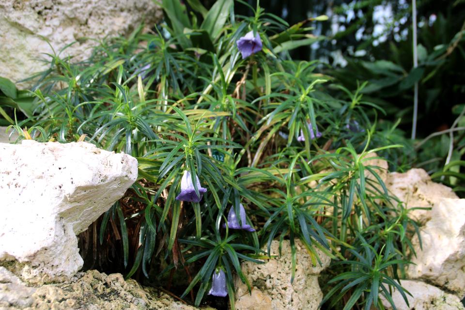 Несокодон маврикийский (Nesocodon mauritianus) в оранжереи ботанического сада г. Орхус