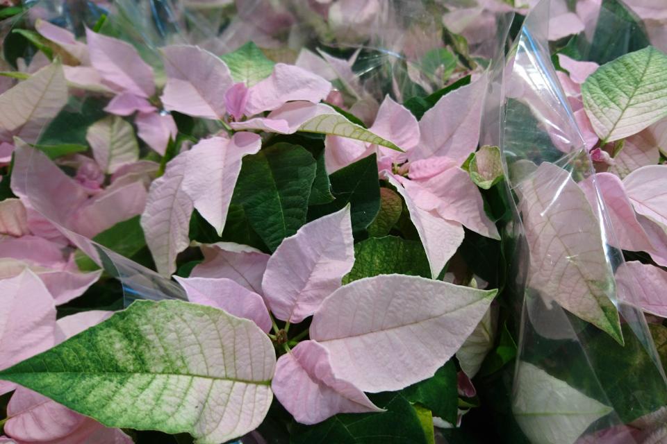 Нежно-розовые пуансеттии Princettia soft Pink, Дания