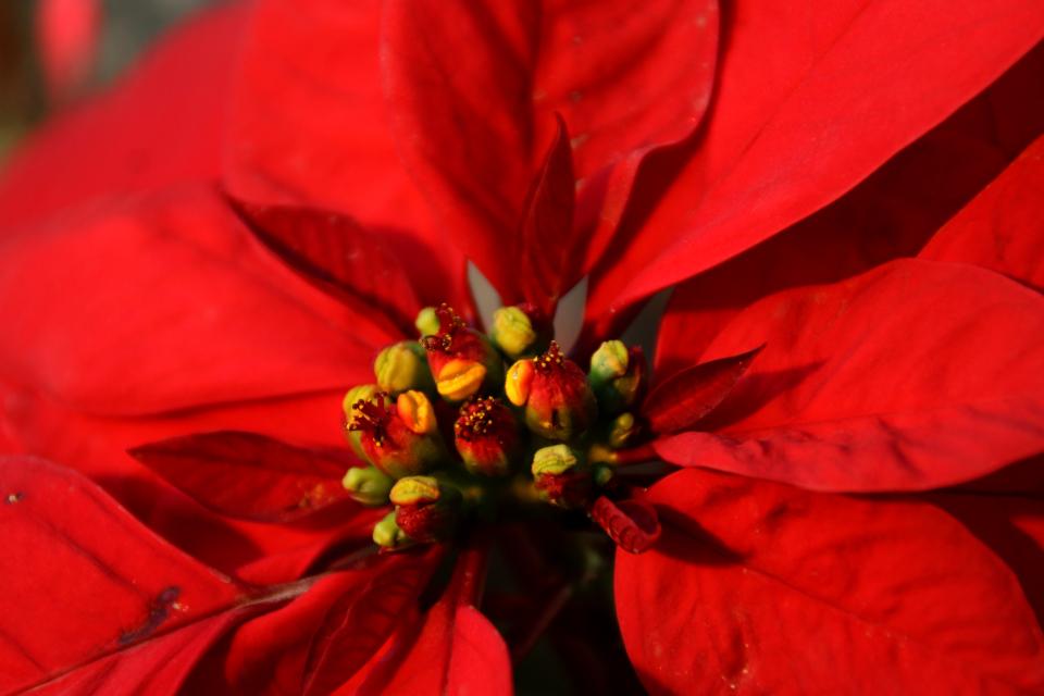 Мужские и женские цветки пуансеттии в окружении красных прилистников