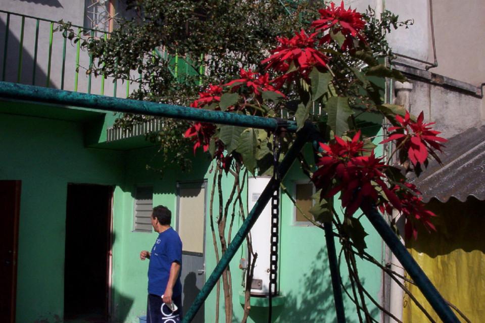 Цветущая пуансеттия (Euphorbia pulcherrima) во дворе частного дома, Мексика