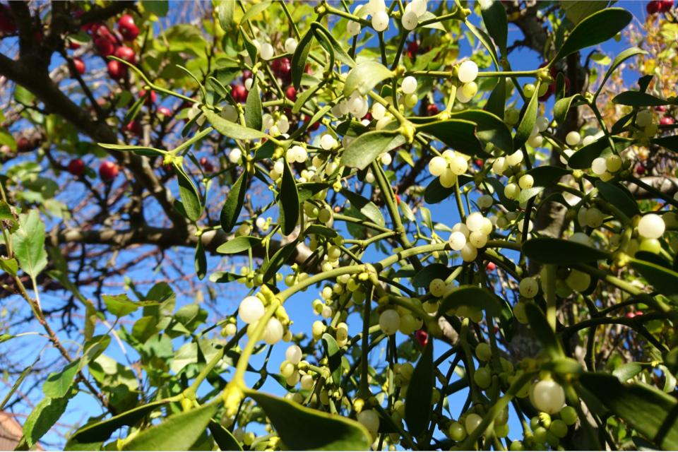 Омела белая на яблоне. Фото 30 нояб. 2017, сад моего соседа Йенса, Дания