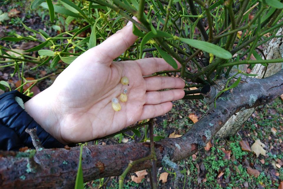 Плод омелы белой, внутри которого находится черное семя