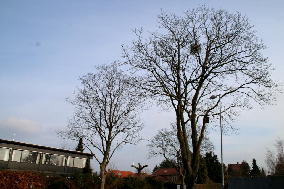Дикорастущая омела белая на дереве. Фото 9 фев. 2018, г. Рисков / Risskov, Дания