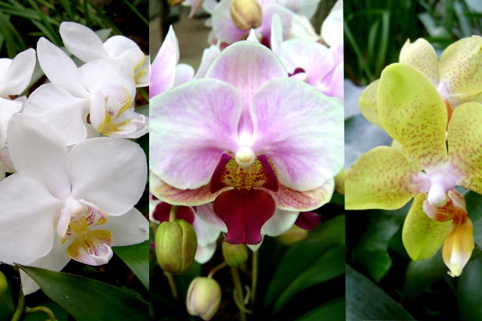 Разные окраски цветов орхидей-фаленопсис