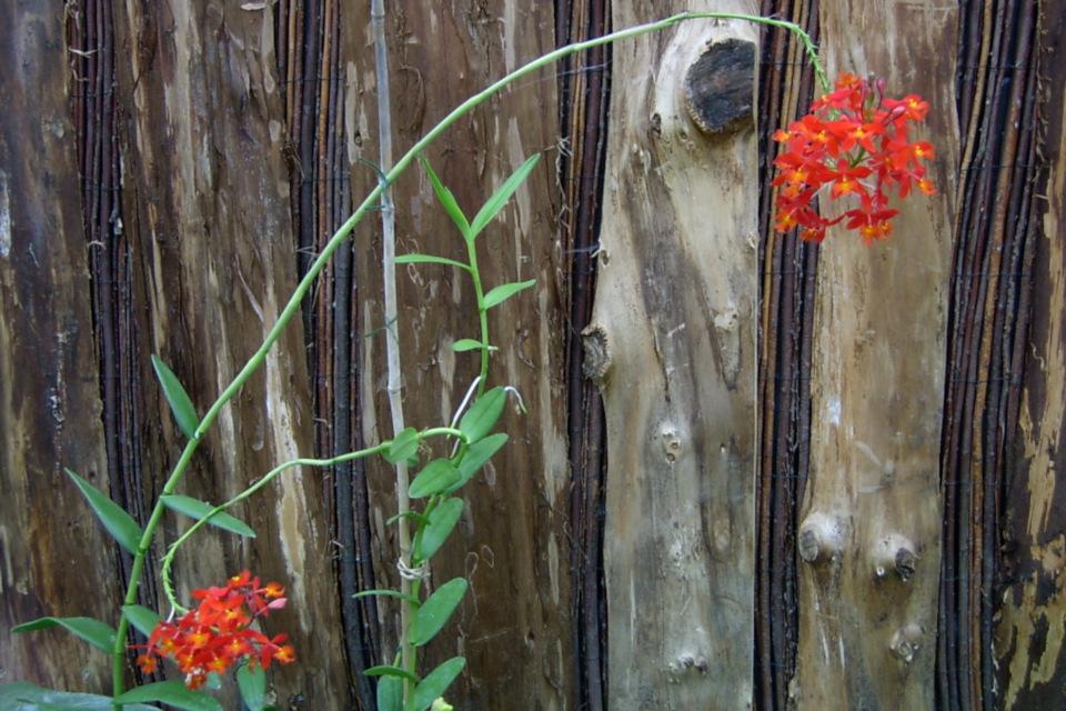 Эпидендрум укореняющийся с цветами причудливой формы