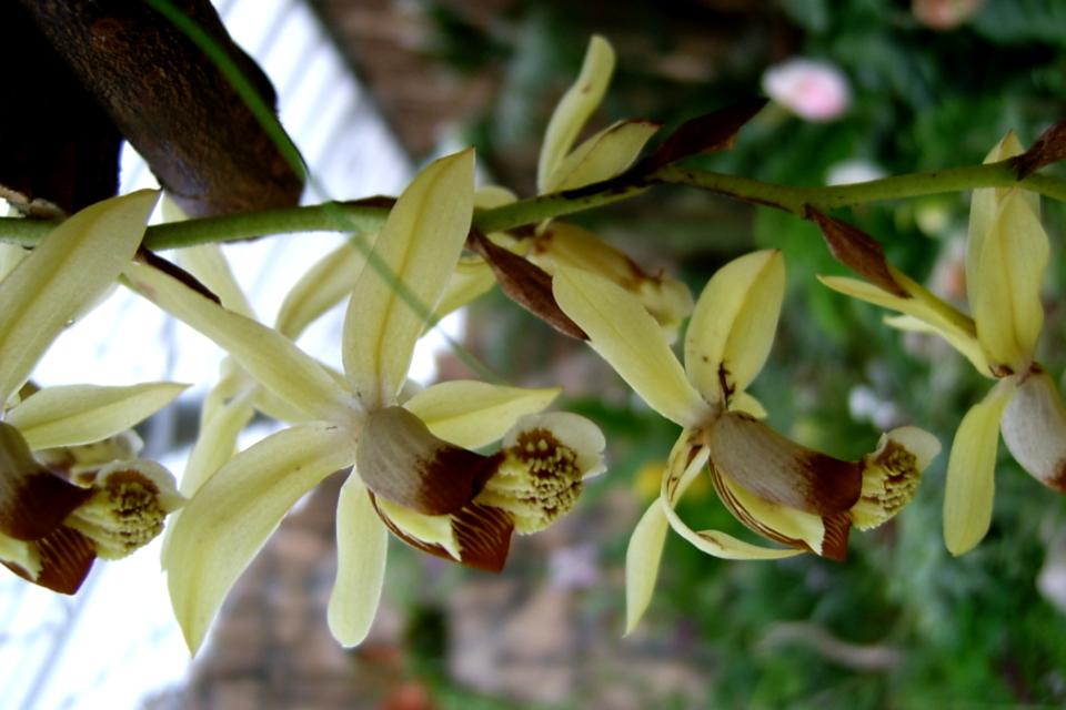 Цветущая орхидея. Фото 22 апр. 2006, парка Йесперхус (Jesperhus Feriepark)