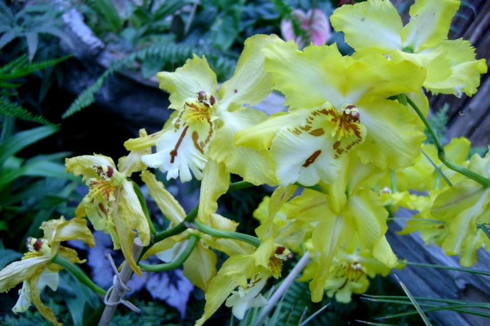 Орхидеи парка Йесперхус (Jesperhus Feriepark, Дания