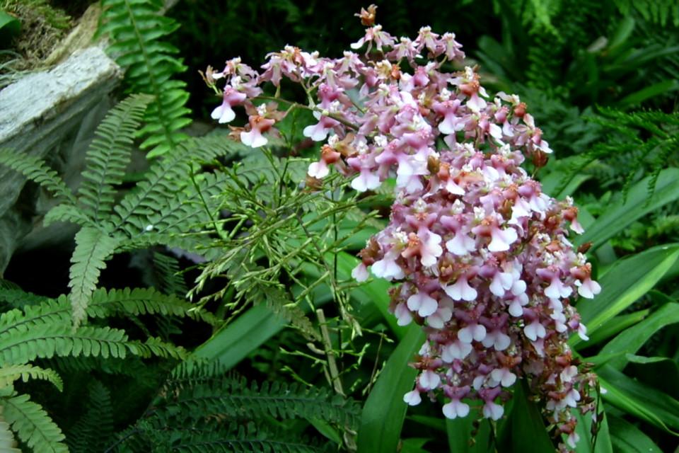 Обильноцветущая орхидея в тропической оранжерее парка Йесперхус