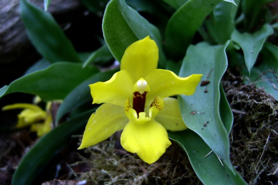 Орхидея в тропической оранжереи парка Йесперхус (Jesperhus Feriepark)