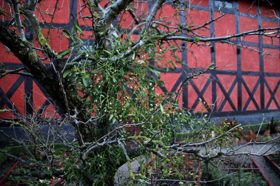 Омела белая растет на старой яблоне в аптекарском огороде