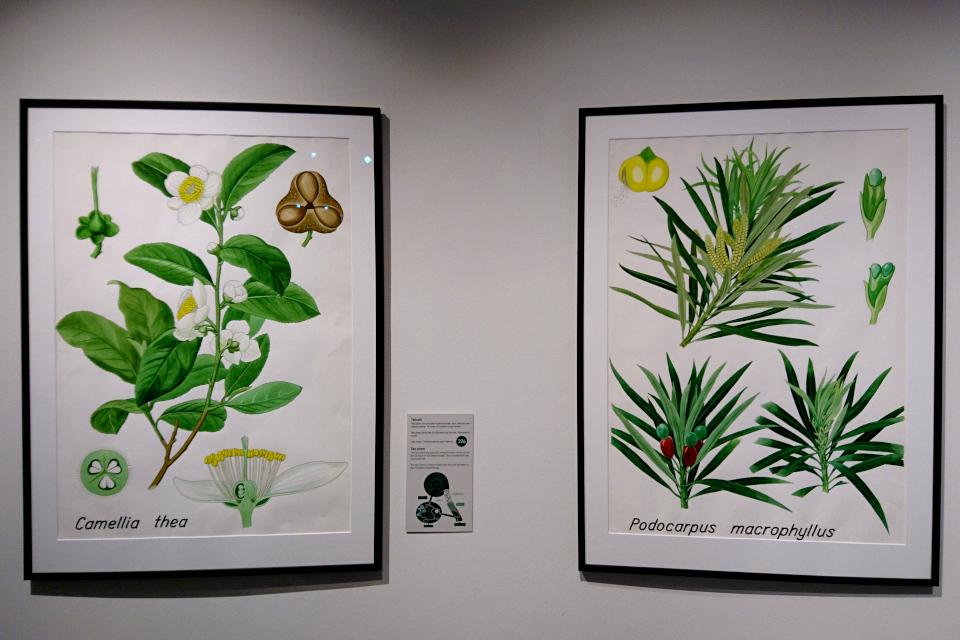 Ботанические детали растений: Чай (Camellia thea) и Подокарп крупнолистный