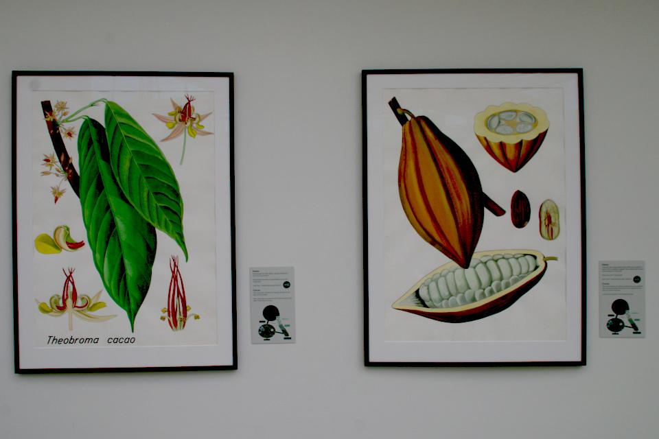Ботанические детали растения какао (Theobroma cacao), Бент Йонсен (Bent Johnsen)