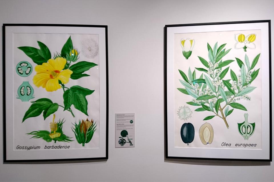 Иллюстрации с ботаническими деталями: Хлопчатник (Gossypium barbadense)