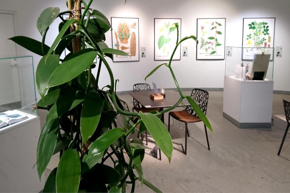 Ваниль плосколистная (Vanilla planifolia) в выставочном зале