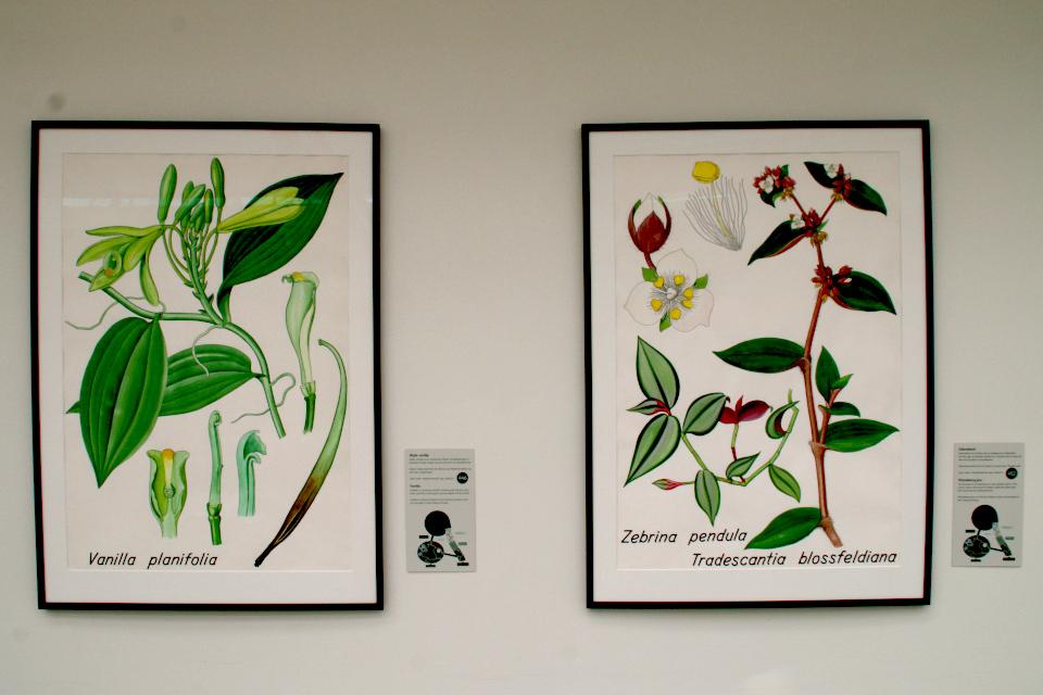 Ботанические детали Ваниль плосколистная (Vanilla planifolia) и Зебрина висячая