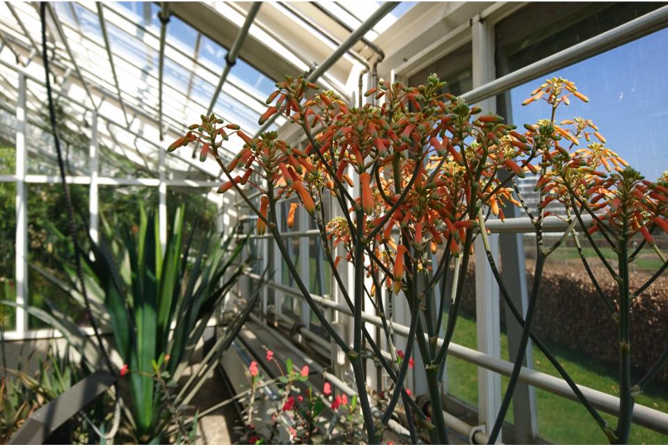 Цветущее алоэ в отделе кактусов и суккулентов ботанического сада г. Орхус, Дания
